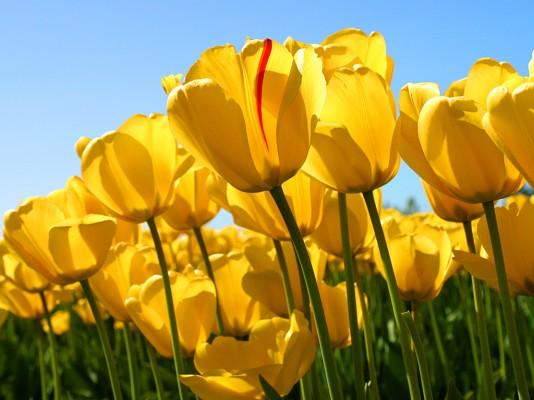 2658_Tulips.jpg